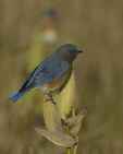 An Eastern Bluebird perches on Common Milkweed.  8187 drive 9