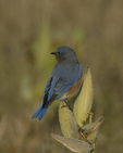 An Eastern Bluebird perches on Common Milkweed.  8188 drive 9