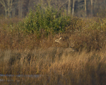 White-tailed Deer bucks move about along the shore.  8371 drive 9