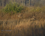 White-tailed Deer bucks move about along the shore.  8372 drive 9