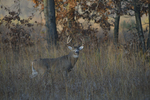 A White-tailed Deer buck stands in a prairie.  8360 drive 9