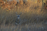 A White-tailed Deer buck stands in a prairie on a frosty morning.   8385 drive 9