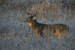 A White-tailed Deer buck stands in a prairie on a frosty morning.   8429 drive 9