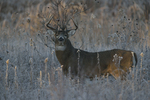 A White-tailed Deer buck stands in a prairie on a frosty morning.   8431 drive 9