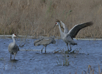 A Sandhill Crane alights on a wetland as two others stand nearby.   8304 drive 9