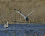 A Sandhill Crane flies up on a wetland as another stands nearby. 8323 drive 9
