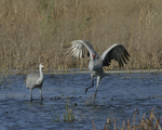 A Sandhill Crane alights on a wetland as another stands nearby.   8324 drive 9