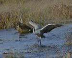 A Sandhill Crane alights on a wetland.  8333 drive 9