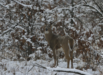 A White-tailed Deer buck stands in a prairie and woods on a snowy day.   8819 drive 9