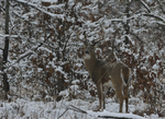A White-tailed Deer buck stands in a prairie and woods on a snowy day.   8820 drive 9