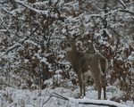 A White-tailed Deer buck stands in a prairie and woods on a snowy day.   8821 drive 9