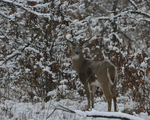A White-tailed Deer buck stands in a prairie and woods on a snowy day.   8825 drive 9
