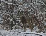 A White-tailed Deer buck walks in a prairie and woods on a snowy day.   8826 drive 9