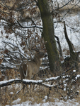A White-tailed Deer buck stands in a prairie and woods on a snowy day.   8862 drive 9