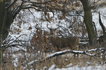 A White-tailed Deer buck stands in a prairie and woods on a snowy day.   8868 drive 9