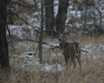 A White-tailed Deer buck stands in a prairie and woods.  8903 drive 9