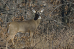 A White-tailed Deer buck stands in a prairie.  8962 drive 9