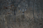 A White-tailed Deer buck stands in a prairie.  8993 drive 9