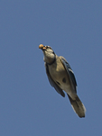 A Blue Jay flies with acorns.  8224 drive 9