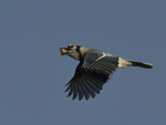 A Blue Jay flies with an acorn.  8228 drive 9