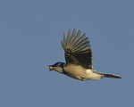 A Blue Jay flies with an acorn.  8230 drive 9