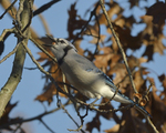 A Blue Jay gathers acorns.  8265 drive 9