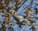 A Blue Jay gathers acorns.  8269 drive 9