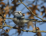 A Blue Jay gathers acorns.  8272 drive 9