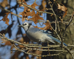 A Blue Jay perches in an oak tree.  8279 drive 9