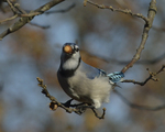 A Blue Jay gathers acorns.  8286 drive 9