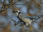 A Blue Jay gathers acorns.  8287 drive 9