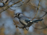 A Blue Jay gathers acorns.  8290 drive 9