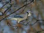A Blue Jay perches on a branch.  8292 drive 9