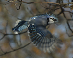 A Blue Jay flies off.  8293 drive 9
