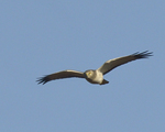 A Northern Harrier flies over.  8449 drive 9
