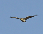 A Northern Harrier flies over.  8450 drive 9