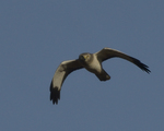 A Northern Harrier flies over.  8451 drive 9