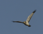 A Northern Harrier flies over.  8452 drive 9