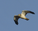 A Northern Harrier flies over.  8453 drive 9