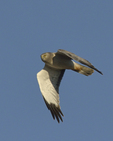 A Northern Harrier flies over.  8454 drive 9