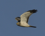 A Northern Harrier flies over.  8455 drive 9