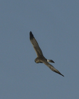A Northern Harrier flies over.  8461 drive 9