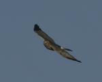 A Northern Harrier flies over.  8468 drive 9