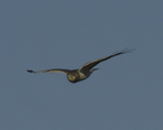 A Northern Harrier flies over.  8471 drive 9