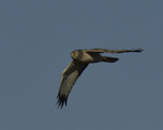 A Northern Harrier flies over.  8472 drive 9