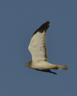 A Northern Harrier flies over.  8477 drive 9