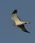 A Northern Harrier flies over.  8483 drive 9