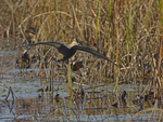 A Black Duck flies in to land.  8503 drive 9
