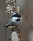A Black-capped Chickadee has a morsel from a plant.  8579 drive 9