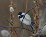 A Black-capped Chickadee picks a morsel from a plant.  8581 drive 9